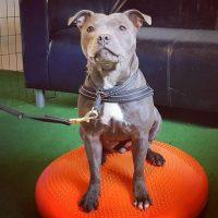 Kurs, hund på balansboll
