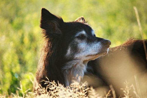 hund njuter på en äng