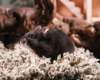 Grundkurs i hamsterskötsel