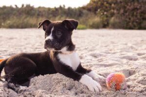 valp ligger i sanden och leker med en boll