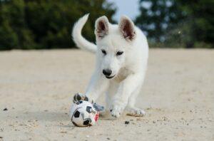 vit schäfervalp leker med en boll i sanden