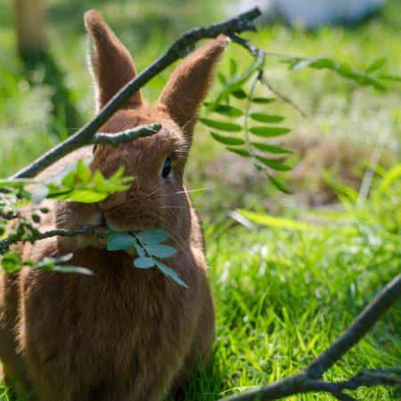 Grundkurs i kaninskötsel