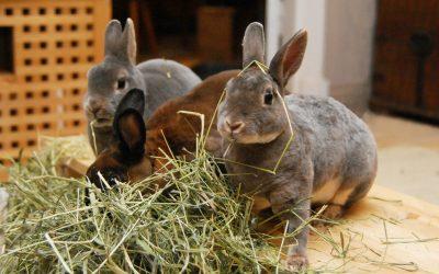 Kan kaniner äta …? Kurs i kaninfoder