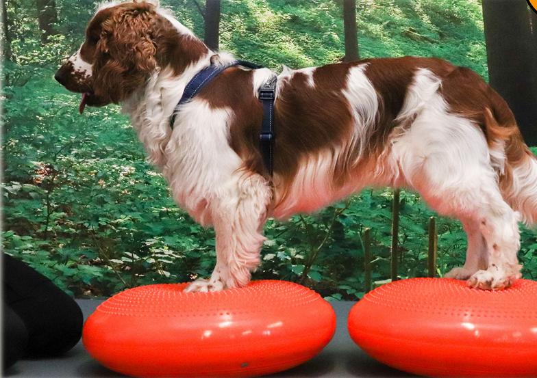 Balansbollskurs online hund